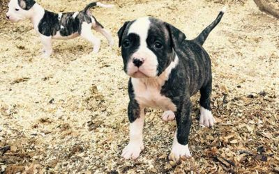 Female American Bulldog pup for sale from Toby and Moscatta