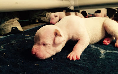 Moscatta and Toby Male American Bulldog Puppy Available