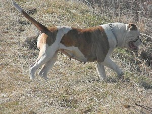 Bella out for a hunt american bulldog