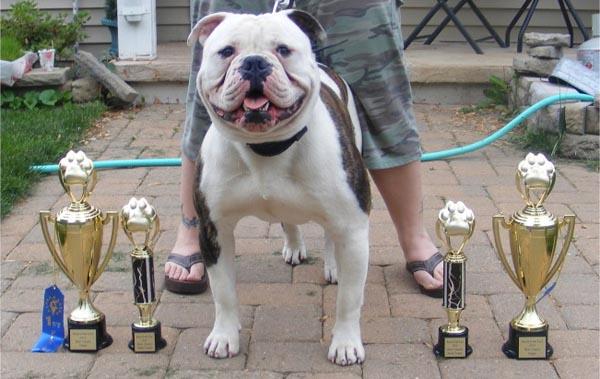 American Bulldog show dog