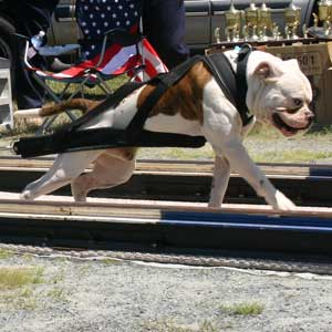 American Bulldog weight pulling
