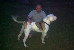 American Bulldog Toby