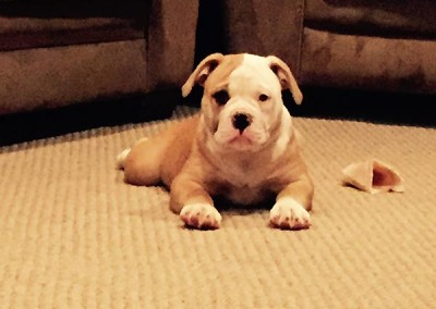 pretty female puppy American Bulldog
