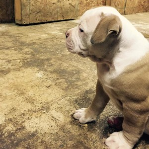 thick female American Bulldog pup 6 weeks