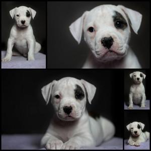 Female american bulldog puppy