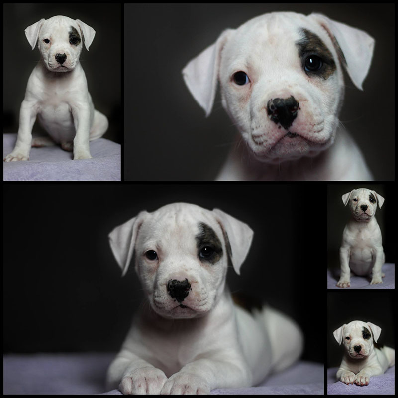 Female american bulldog puppy