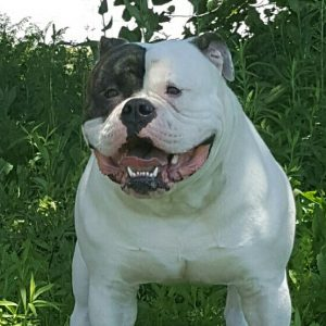 Big Head American Bulldog Bull Pulls Bolder