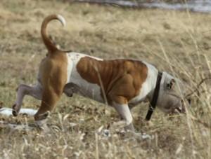 American Bulldog Conan