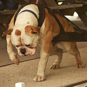 Strongest American Bulldog