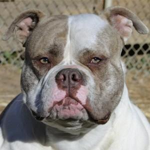 American Bulldogs - Katana