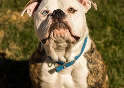 Kingston 9 month old American Bulldog enjoying the sun