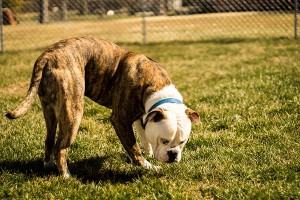 Kingston 9 month old American Bulldog