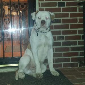 Tall American Bulldog puppy