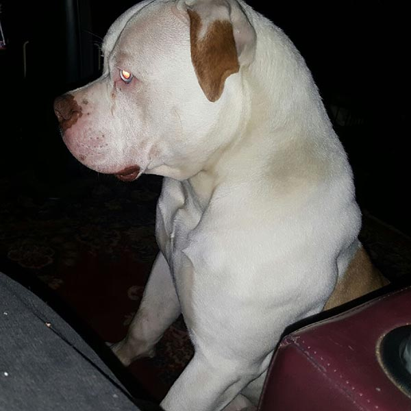American Bulldog Studs Big Head American Bulldogs