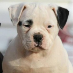 Black American Bulldog puppy