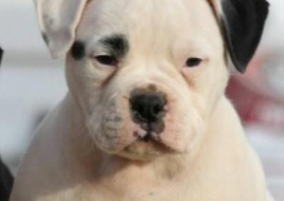 Black American Bulldog puppy