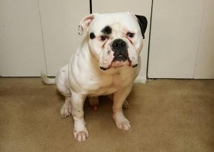 Massive head American Bulldog Macho Man
