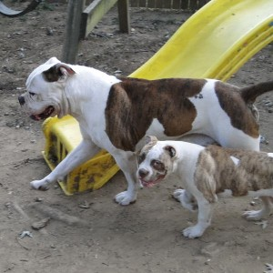 Male American Bulldog with puppies