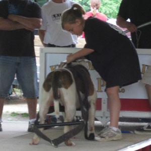child pulling American Bulldog