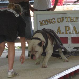 Weight pulling American Bulldog