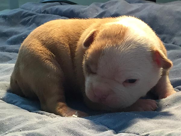 American Bulldog puppy for sale