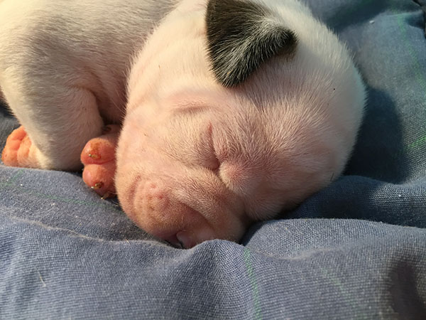 Female American Bulldog Puppy for Sale