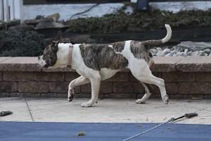 American Bulldog by the pool