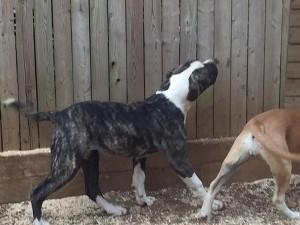 Hybrid female American Bulldog puppy