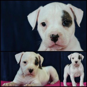 Female American Bulldog Puppy Available