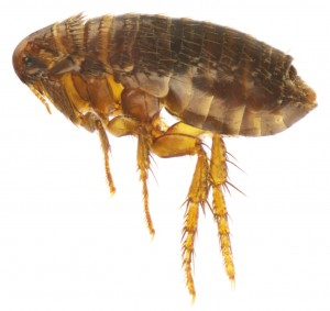 flea-pic