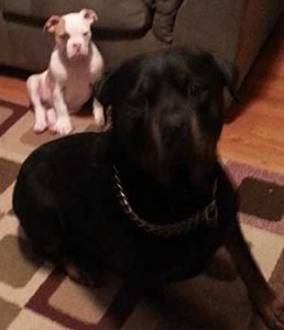 Butkus Hanging with Sis and Rottie Friend