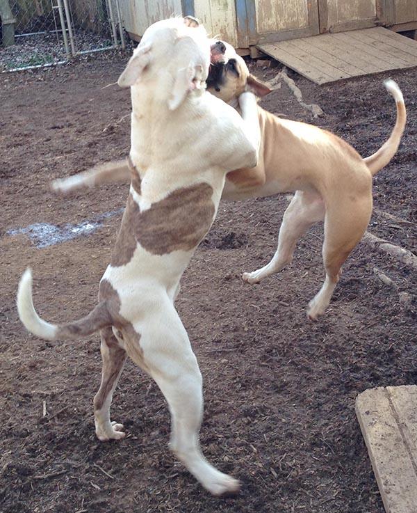 dog friendly American Bulldogs