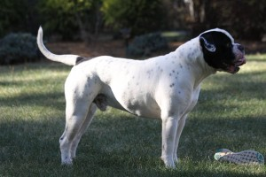 Black American Bulldog White with Black Patches - Sancho