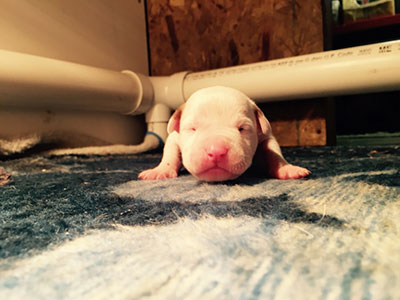 all white american bulldog puppy