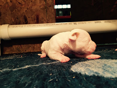 one week old american bulldog puppy