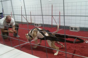 Moo american bulldog winning NWDA weight pull nationals