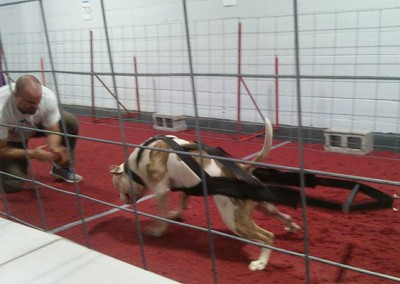 Moo winning NWDA weight pull nationals