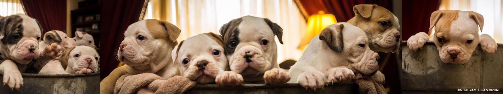 American Bulldogs - American Bulldog Puppies - Bulldogs